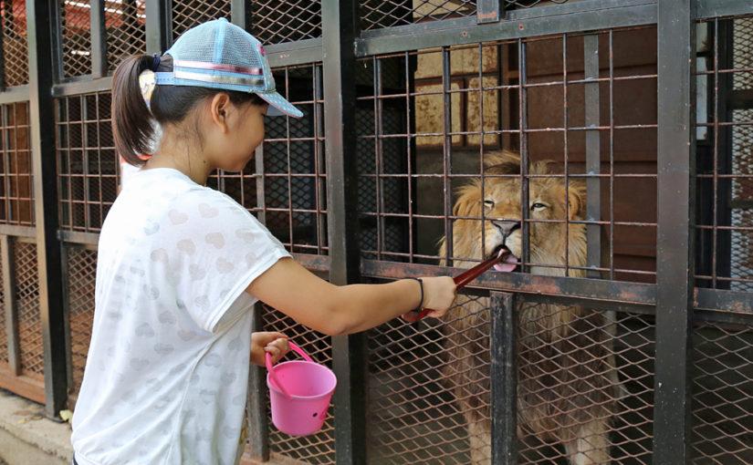 【ノースサファリサッポロ】肉食動物のエサやりもできる 刺激的な体験型動物園